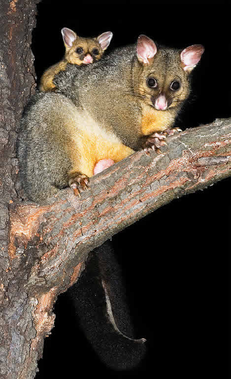 Australia wildlife: Common Brushtail Possum (Austin's Ferry, Tasmania)