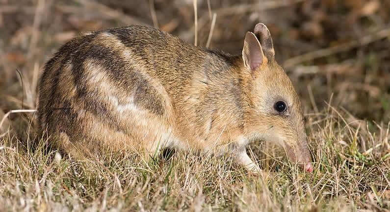 Australia wildlife: Eastern Barred Bandicoot (Poimena Reserve, Austin's Ferry, Tasmania)