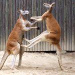 Australia wildlife: Fighting red kangaroos