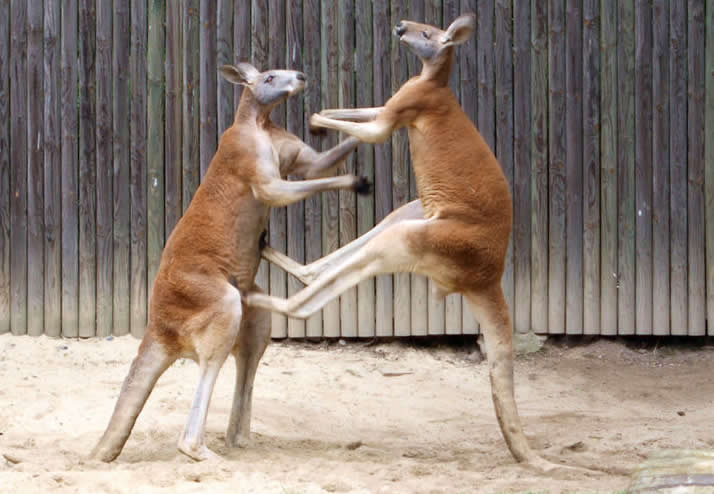 Australia wildlife: Fighting red kangaroos