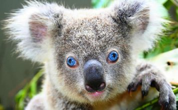 Australia wildlife: blue-eyed koala