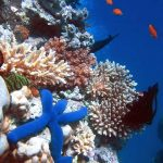 Blue Starfish - coral - Lighthouse - Ribbon Reefs - Great Barrier Reef