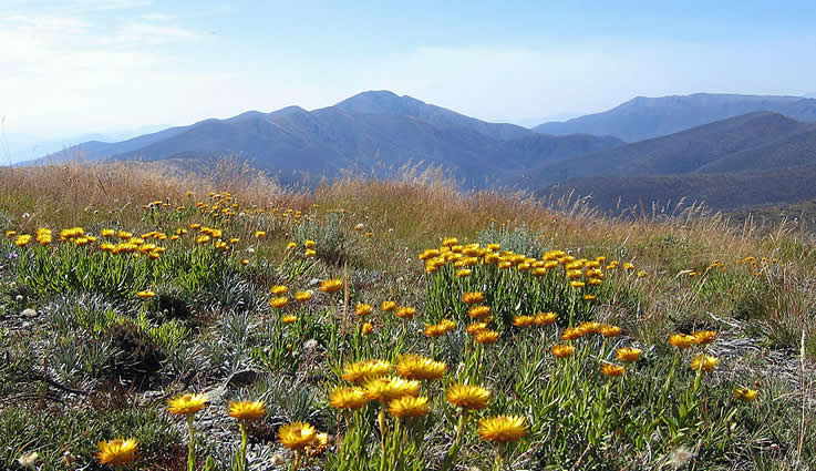 Looking over everlastings on Mt Hotham to Mt Feathertop, Victoria, Australia