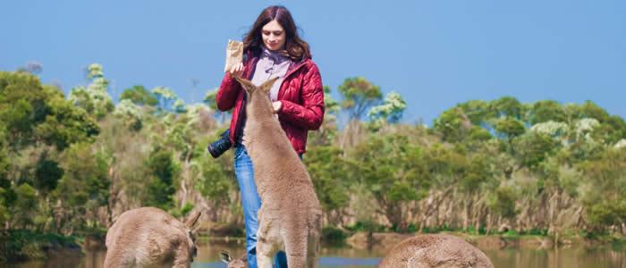 Feeding kangaroos in Phillip Island - South Australia