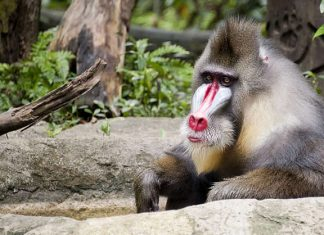 Mandrill - Singapore Zoo - Australians Travelling - Singapore
