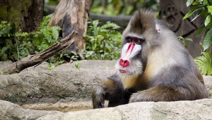 Mandrill - Singapore Zoo - Australians Travelling - Singapore