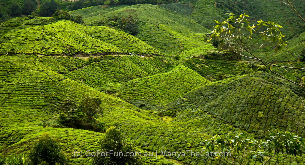 Magnificent tea plantations in Cameron Highlands, Malaysia. Go For Fun - Australian Travel and Activity Community. Inspire, Share, Enjoy!
