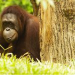 Singapore Zoo - The Must Visit Destinations in SingaporeSingapore Zoo