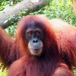 Singapore Zoo - Orangutan