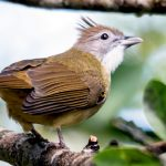 Lole propinqua - grey-eyed bulbul, Khao Yai National Park, Thailand