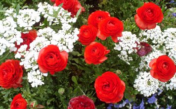 Toowoomba - Carnival of Flowers - Queensland Events - Australia