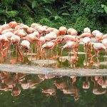 Flamingoes at Jurong Birdpark - Australians Travelling - Singapore