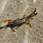 Hamilton Island (Queensland, Australia), crab