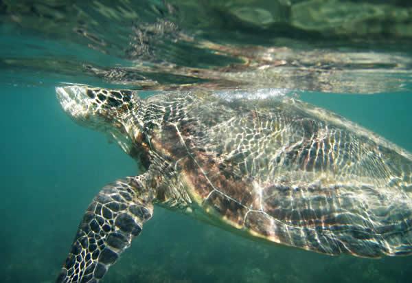 Hamilton Island (Queensland, Australia), turtle