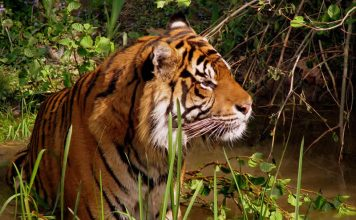 Tiger - wildlife travel - camping danger