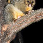 Australia wildlife: Common Brushtail Possum (Austin's Ferry, Tasmania)