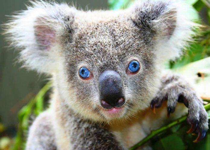 Australia wildlife: blue-eyed koala