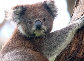 A koala climbing up a tree, Great Otway National Park, Victoria, Australia