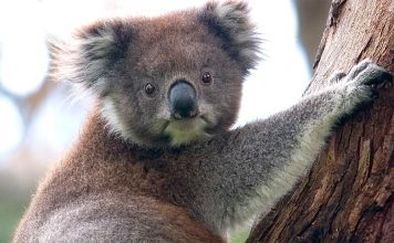A koala climbing up a tree, Great Otway National Park, Victoria, Australia