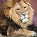 Lion in Colchester Zoo