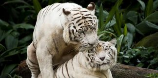 Singapore Zoo - White tigers mating