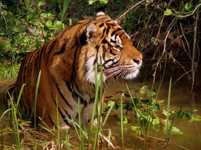 Tiger - wildlife travel - camping danger